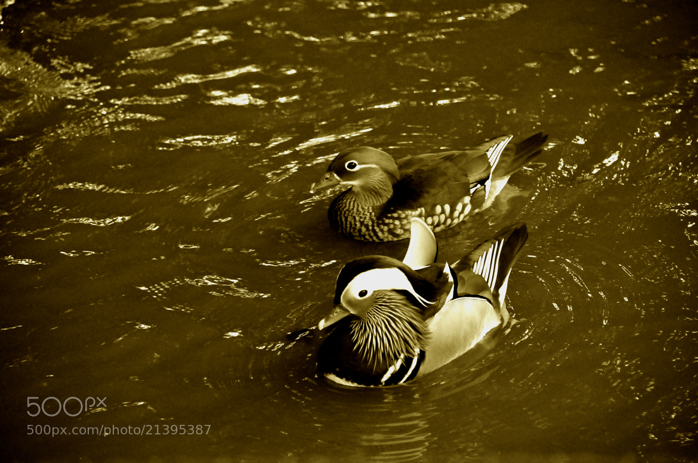 Photograph farm ducks 9  mandarin duck by Pawel Reklewski on 500px