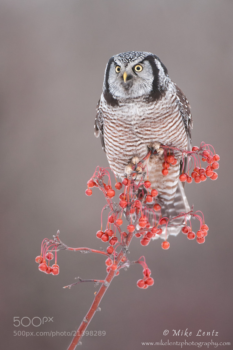 Photograph Northern Hawk Owl on berries by Mike  Lentz on 500px
