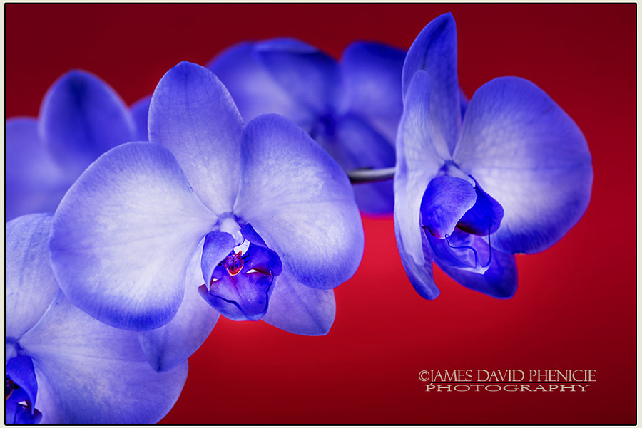 Lilac Amethyst Orchid Series #5