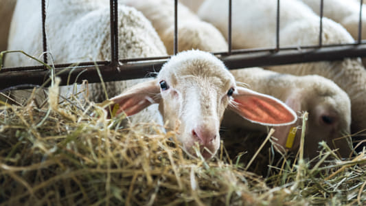 Flock of lamb feeding on hay, agriculture industry, farming and husbandry concept