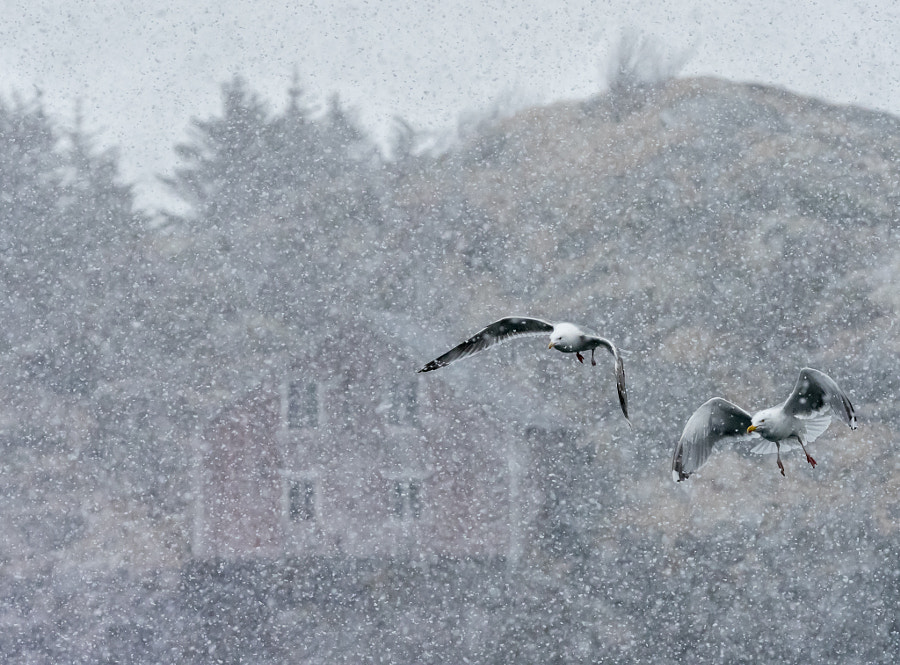 Herring Gulls and a house by Jari Peltomäki on 500px.com