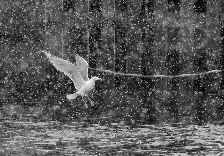 Herring Gull by Jari Peltomäki on 500px.com