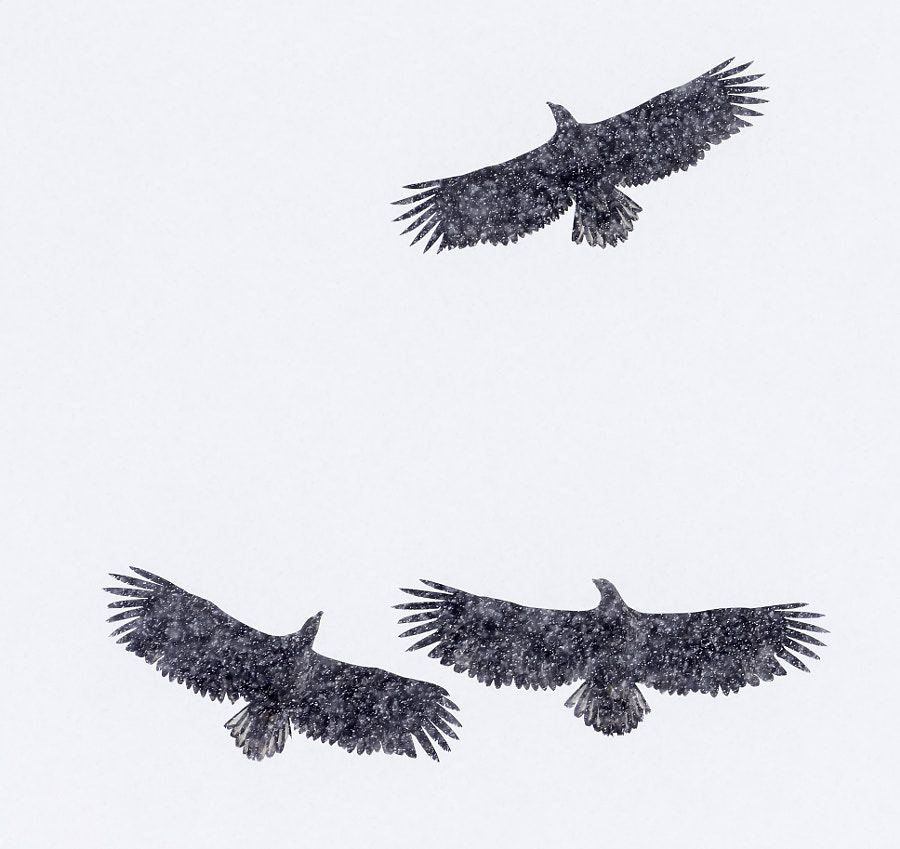 White-tailed Eagles in Lofoten by Jari Peltomäki on 500px.com