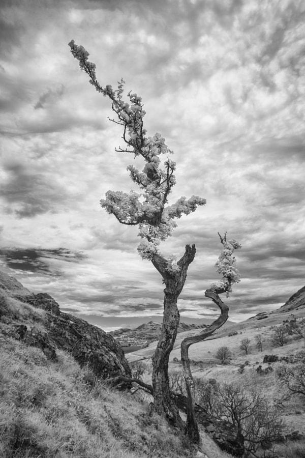 Twisted Hawthorn