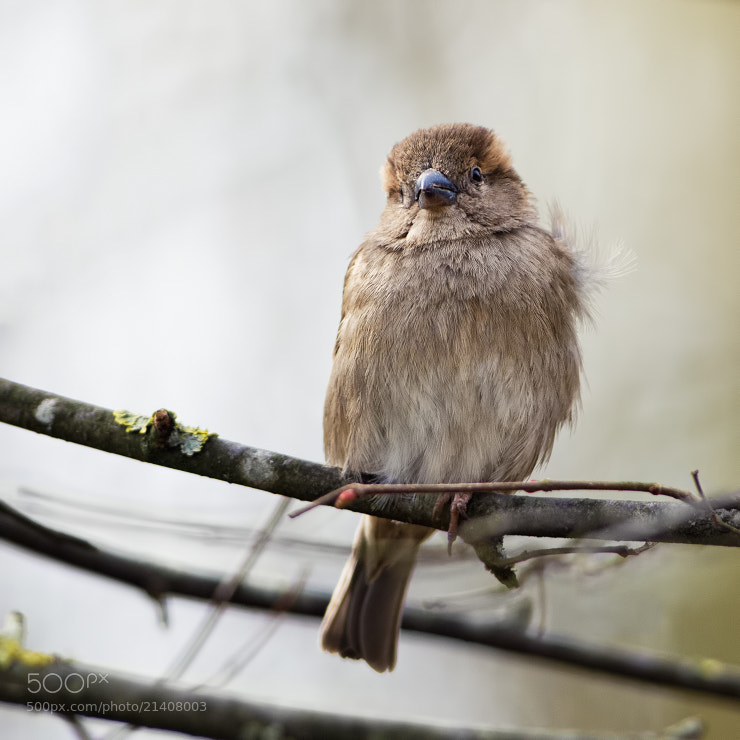 Photograph Sparrow by Stéphane ABCDEF on 500px