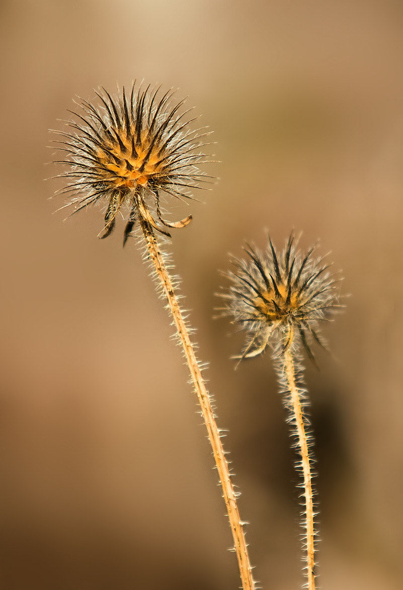 Photograph Thistle by yousef khoram on 500px