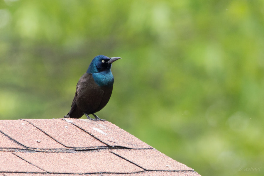 Common Grackle by aishwaryaisonline on 500px.com