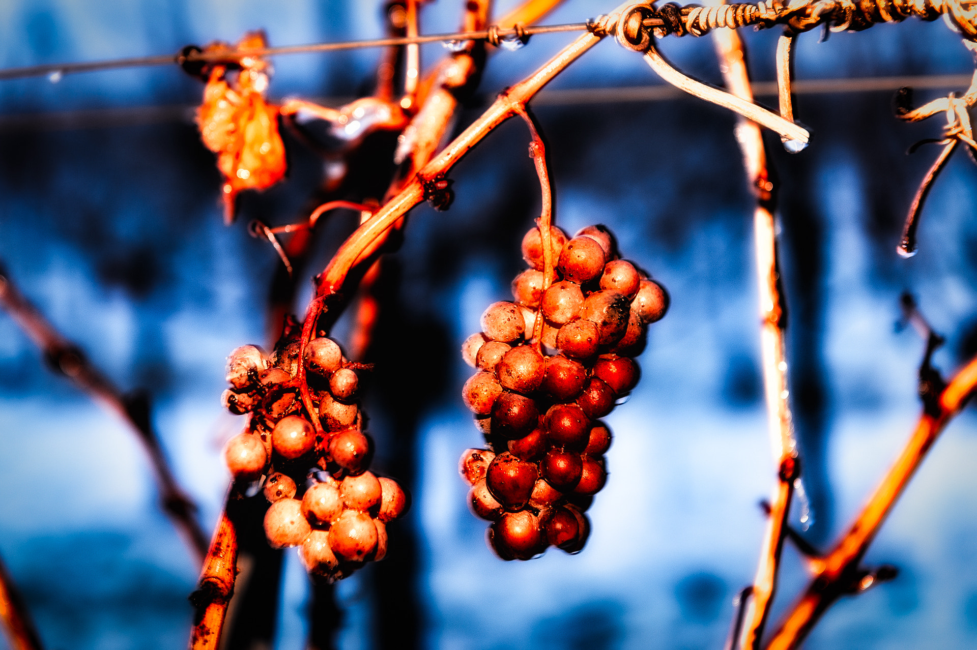 Photograph Merlot Grapes by Ernst Gamauf on 500px