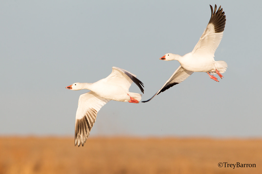 Photograph Snow goose double by Trey Barron on 500px
