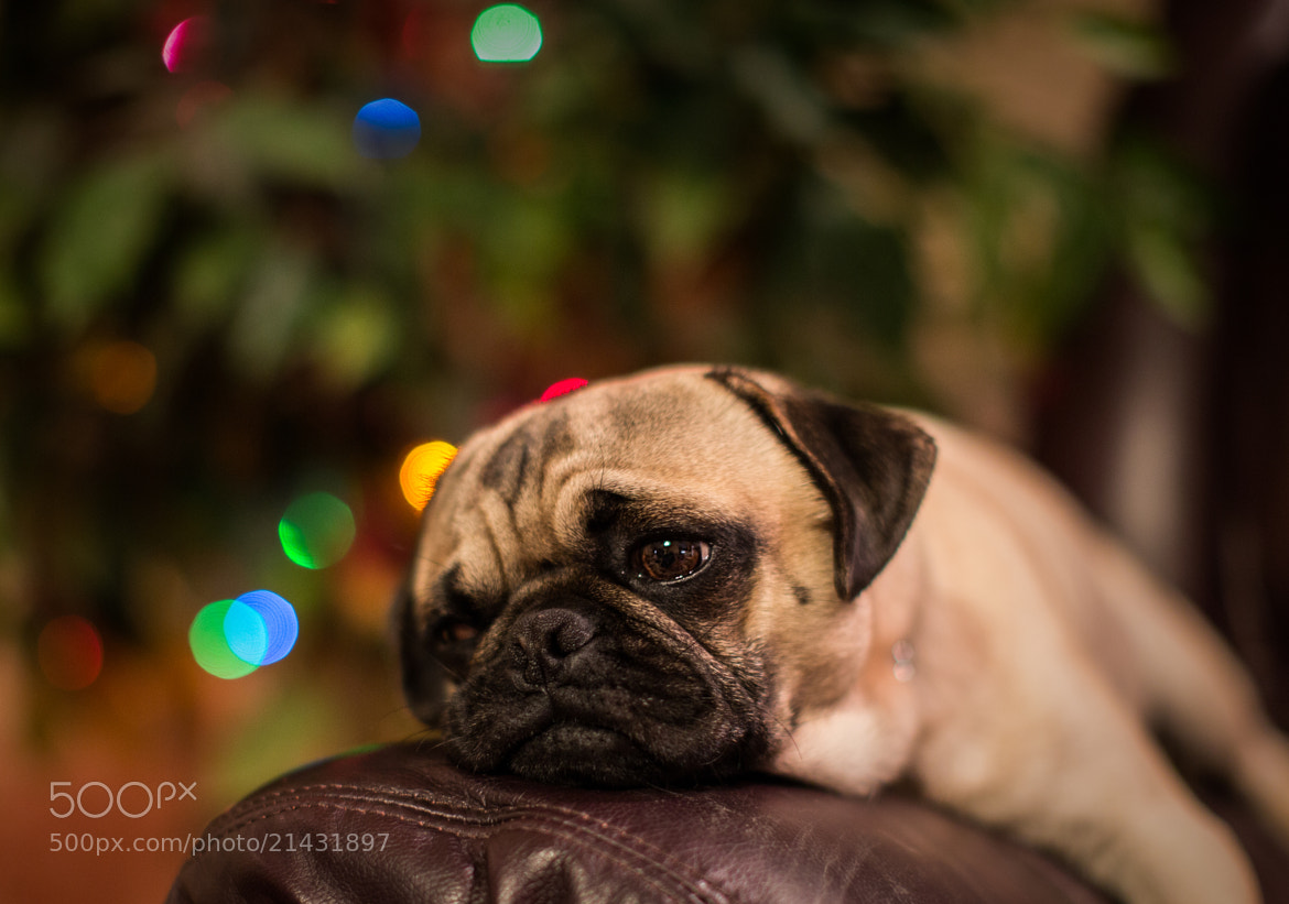 Photograph Lazily Watching by Bill Killillay on 500px