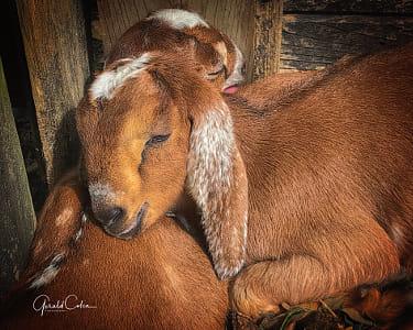 Nubian Baby Goats....Cuddles II