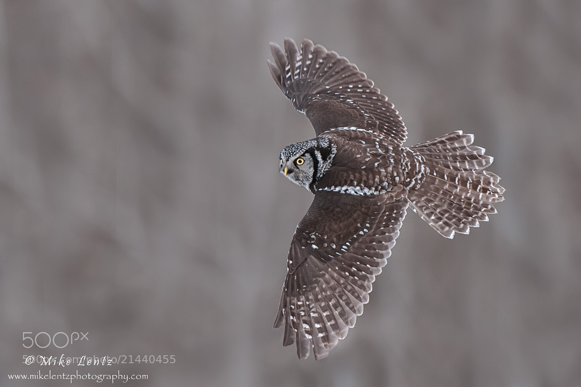 Photograph Northern Hawk Owl banking by Mike  Lentz on 500px