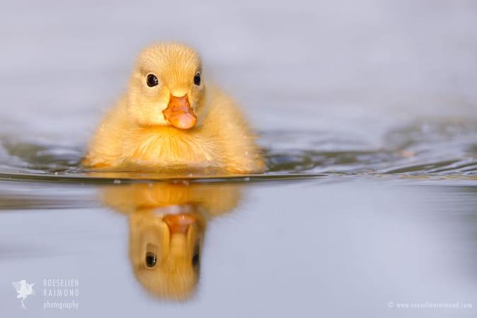 Yellow Baby Duckie