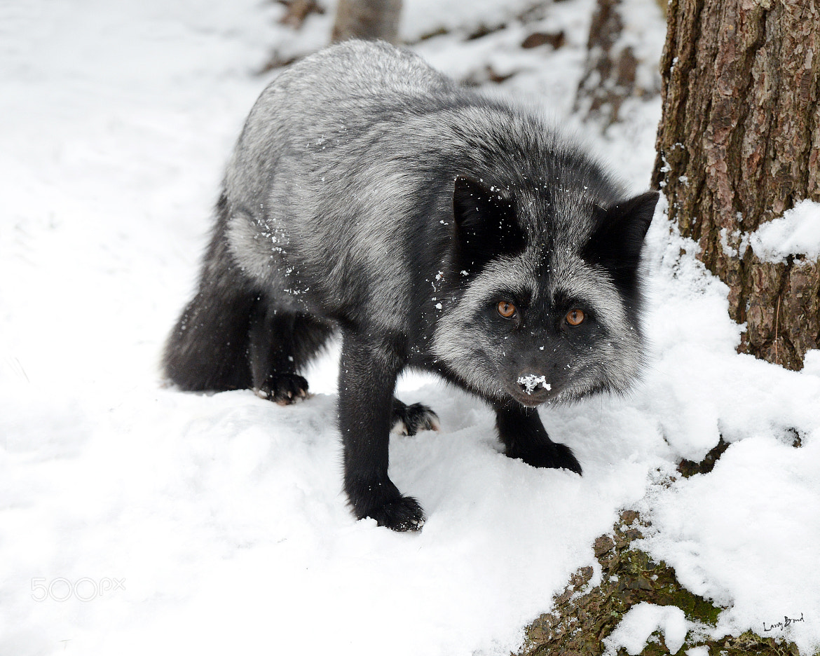 Photograph Silver Fox by Larry Bond on 500px