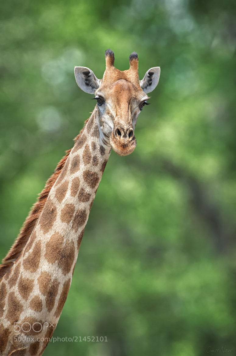 Photograph Giraffe Portrait 2.0 by Omer Nave on 500px
