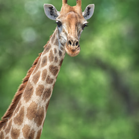 Giraffe Portrait 2.0 by Omer Nave (foxeus)) on 500px.com