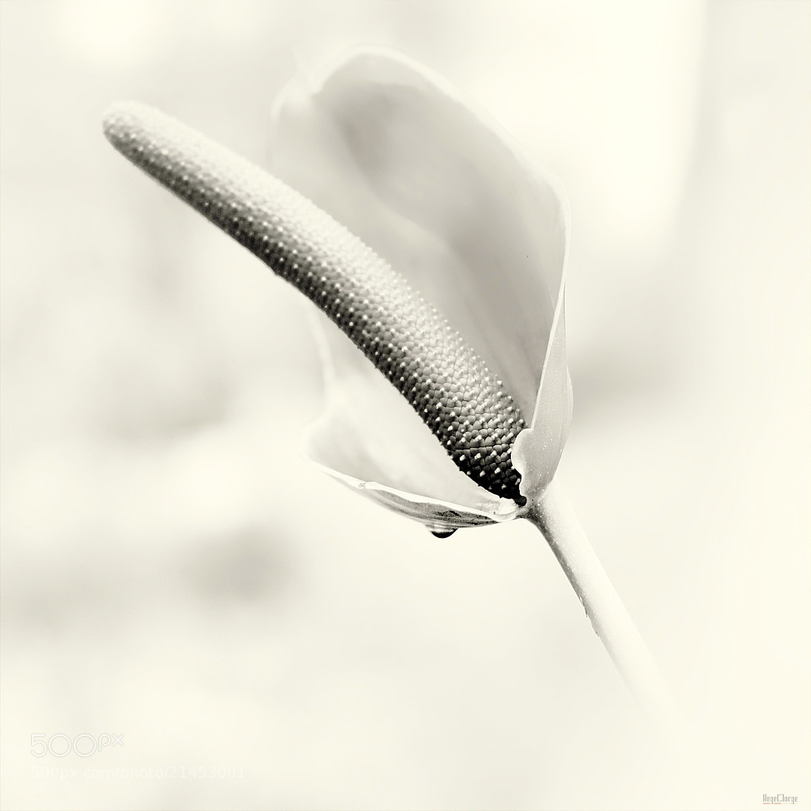 Photograph a drop of whiteness by Hegel Jorge on 500px