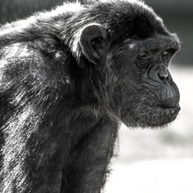The Chimpanzee by julian john (sandtasticdays)) on 500px.com