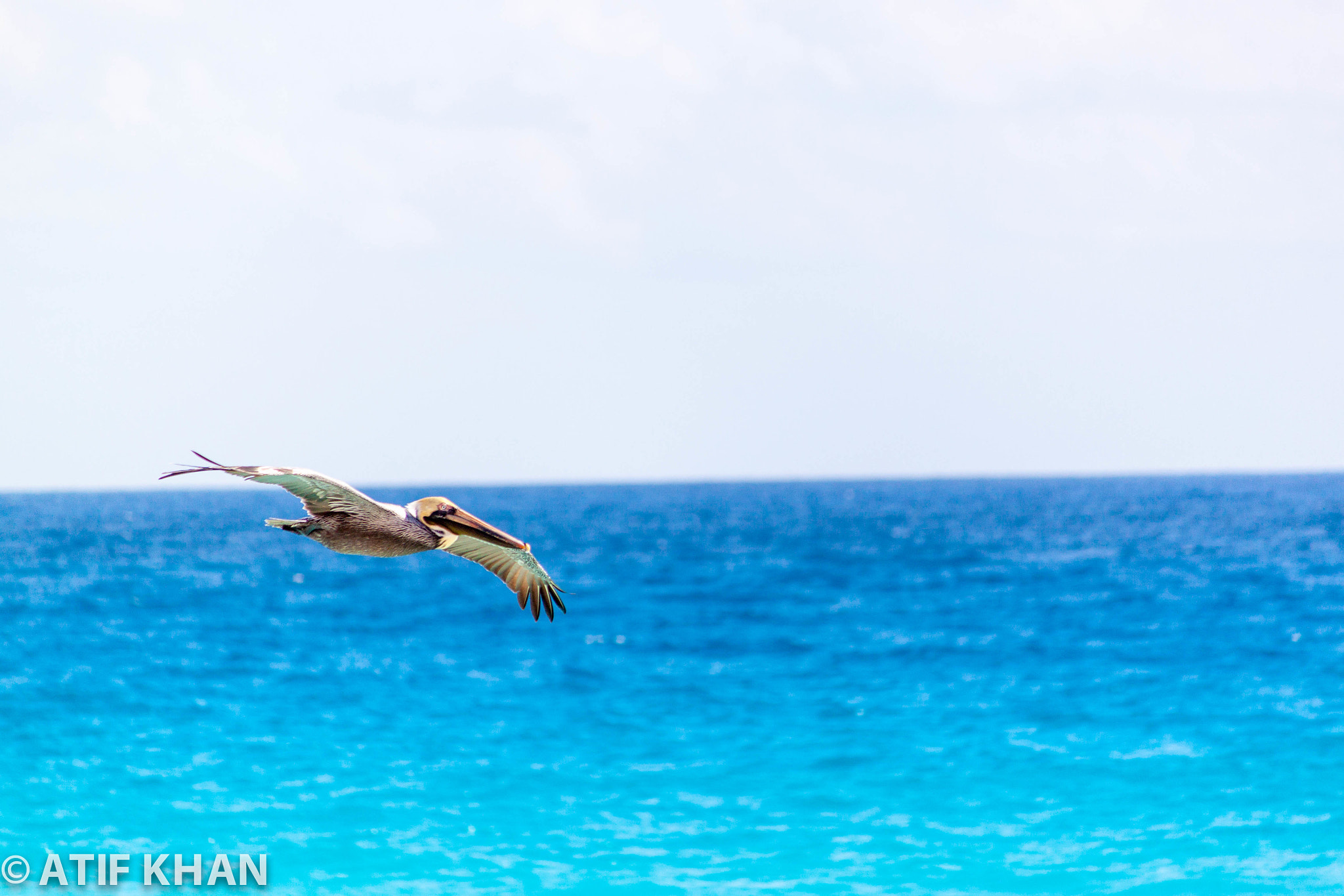 Photograph Pelican Soaring by Atif Khan on 500px