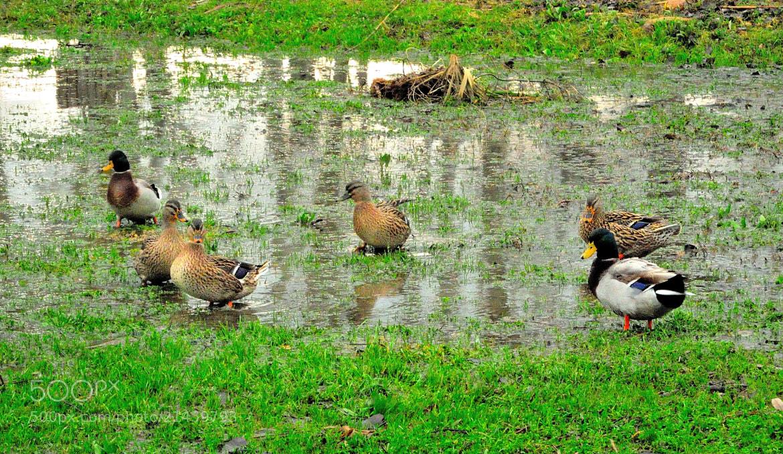 Photograph Six ducks...  by Renato Pantini on 500px
