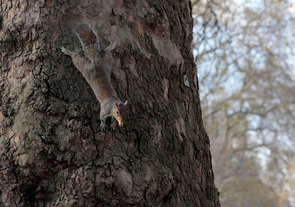 Photograph Squirrel  by Marco Danieli on 500px