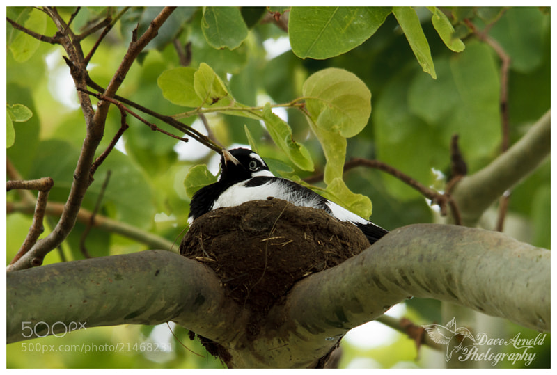 Photograph Nesting Pee Wee by David Arnold on 500px