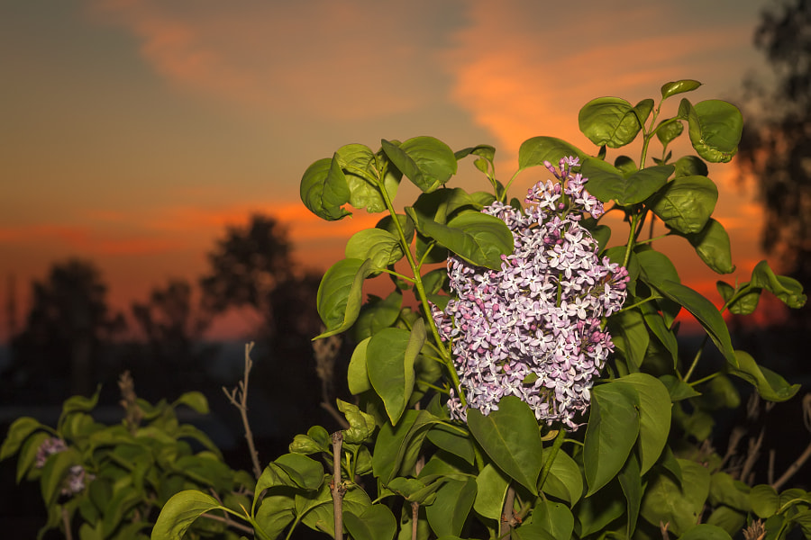 blooming lilacs at sunset