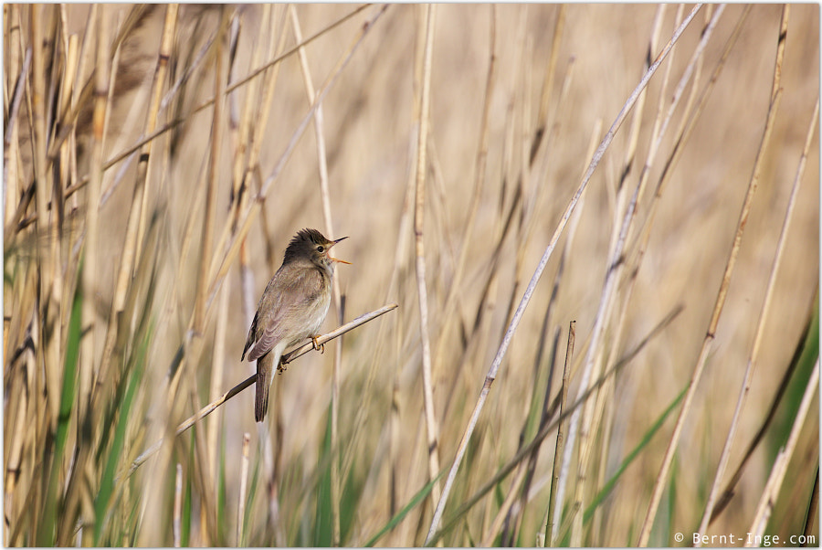 Eurasian reed warbler by Bernt-Inge Madsen on 500px.com