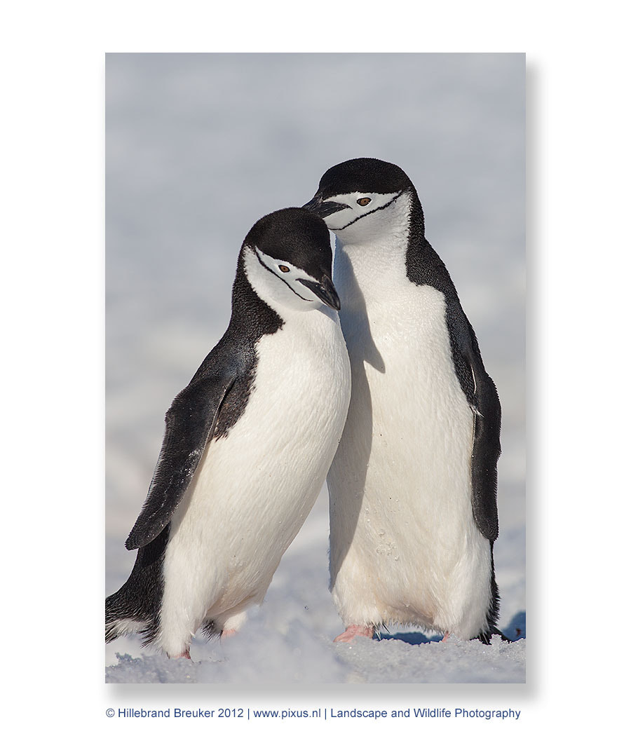 Photograph Chinstrap Love by Hillebrand Breuker on 500px