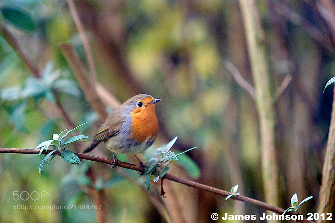 Photograph Robin by James Johnson on 500px