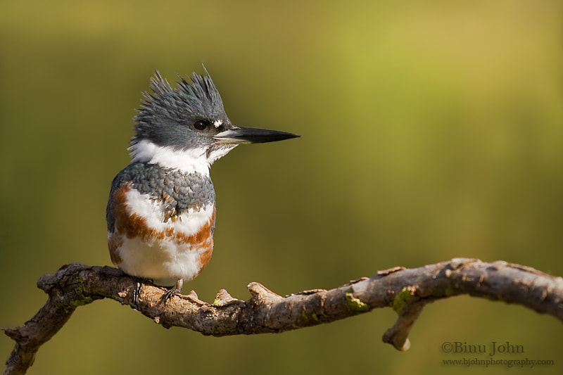 Photograph Belted Kingfisher by Binu John on 500px