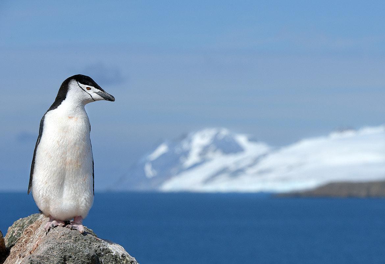 Photograph Chinstrap Penguin by Mirek Zítek on 500px