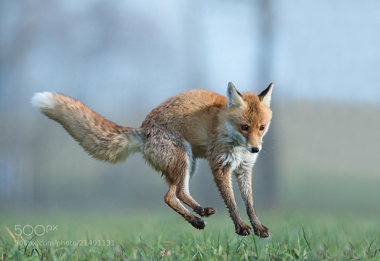 Photograph Red Fox by Mirek Zítek on 500px