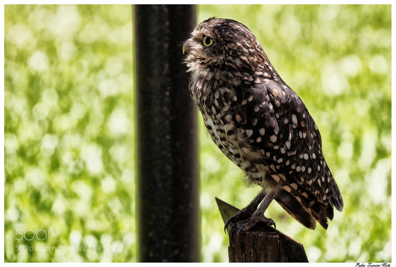 Photograph Owl 04 by Pedro Turrini on 500px