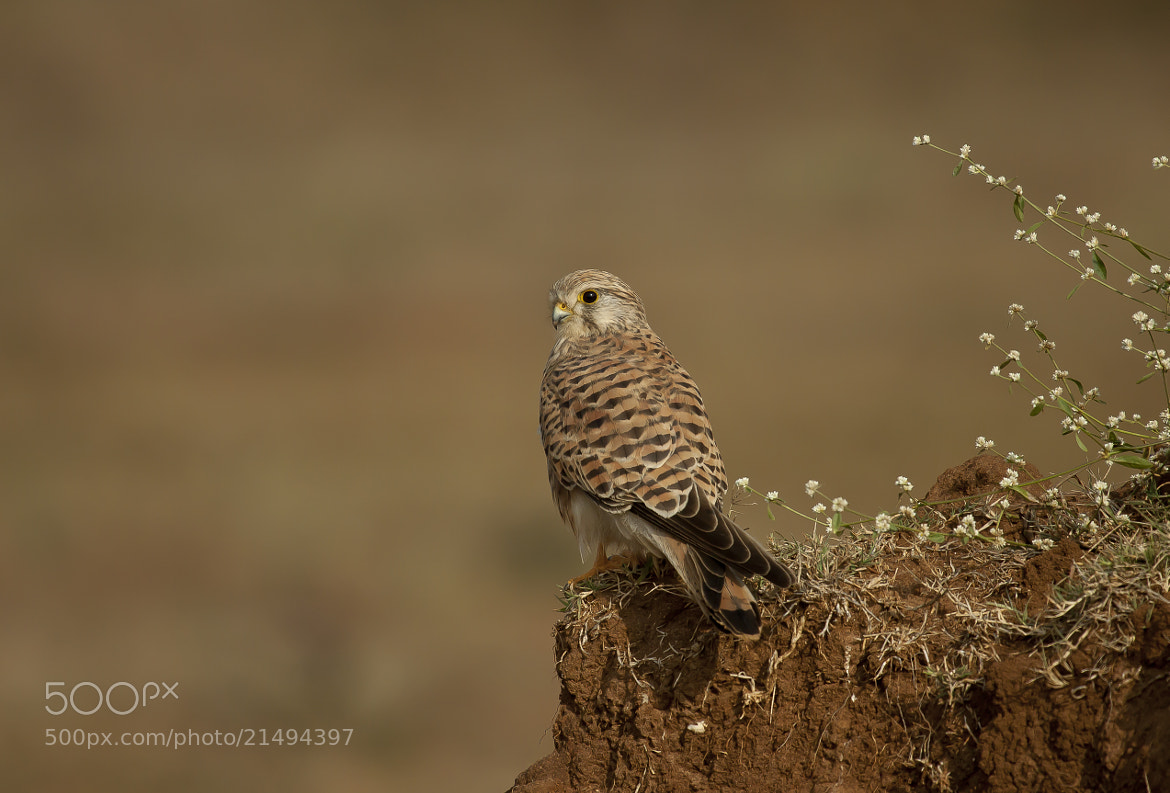 Photograph Kestrel by Nirmalya Roy on 500px