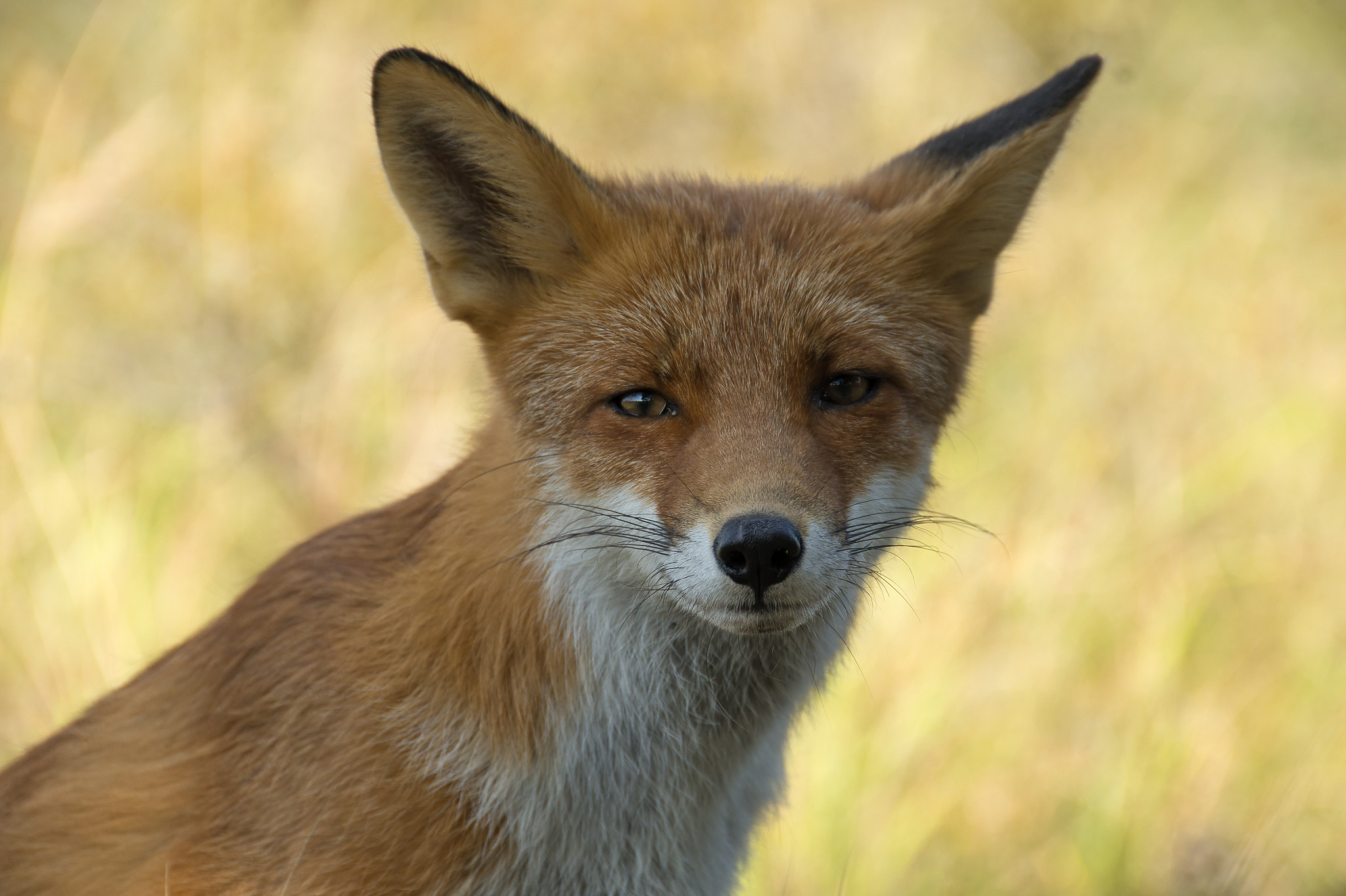 Photograph Red fox by Wiel Arets on 500px