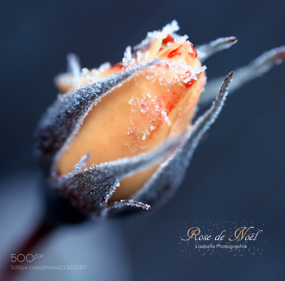 Photograph Rose de Noël  by Lisabella Fert on 500px