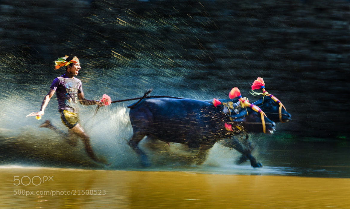 Photograph Kambala-Buffalo Race- 2 by Sudarshan Hp on 500px