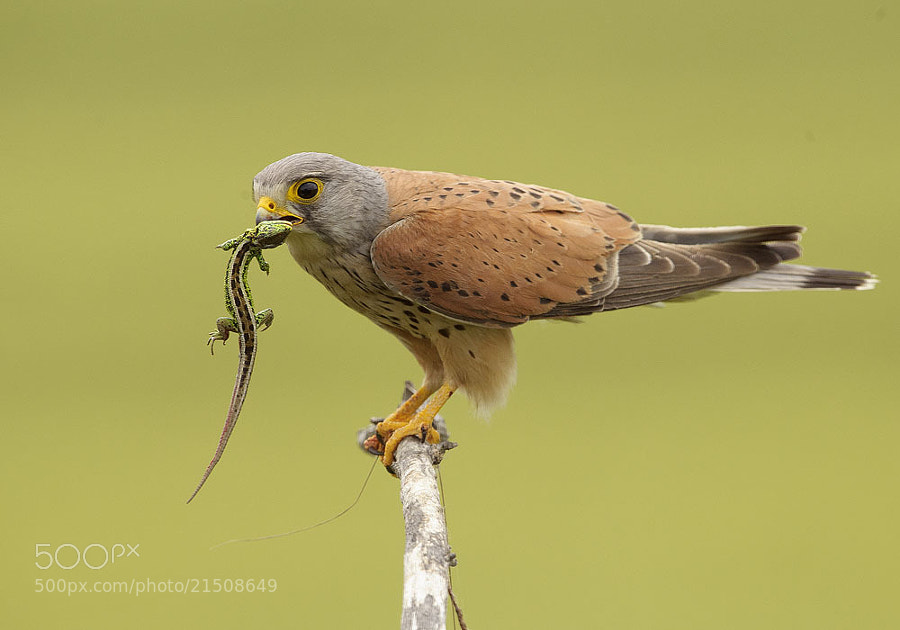 Photograph Common Kestrel by Mirek Zítek on 500px