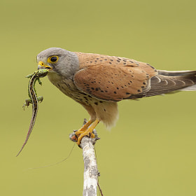 Common Kestrel by Mirek Zítek (MirekZitek)) on 500px.com