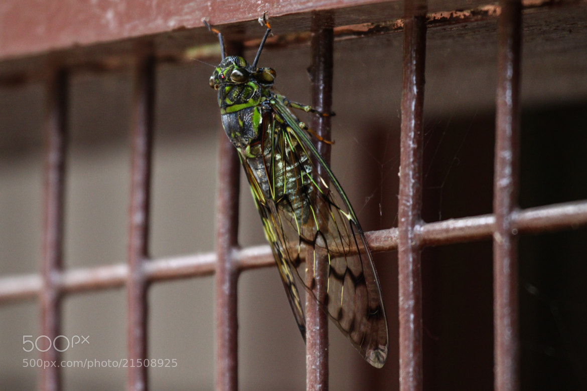 Photograph His Transparency Mr. Cicada by Ravi Meghani on 500px