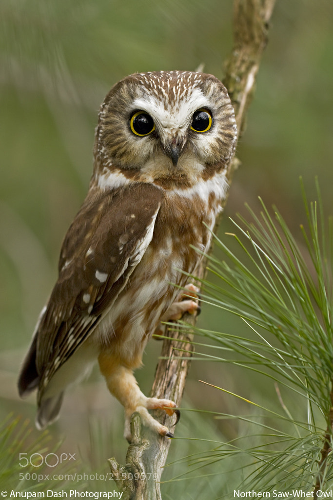 Photograph Northern Saw-Whet Owl!! by Anupam Dash on 500px