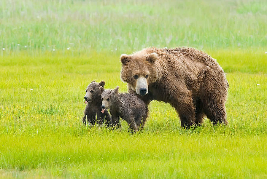 This image was taken at Katmai, Alaska.  The young grizzly cubs were always putting on a show for us and doing what youngsters do best.  I loved it when they both stuck their tongues out together.   Sassy but cute.