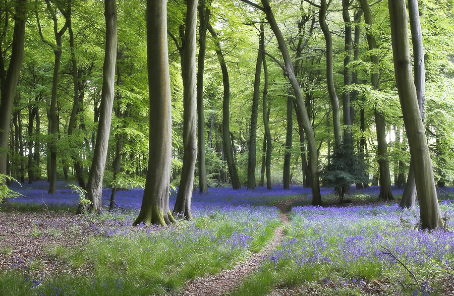 Photograph Bluebell Path by Ceri Jones on 500px