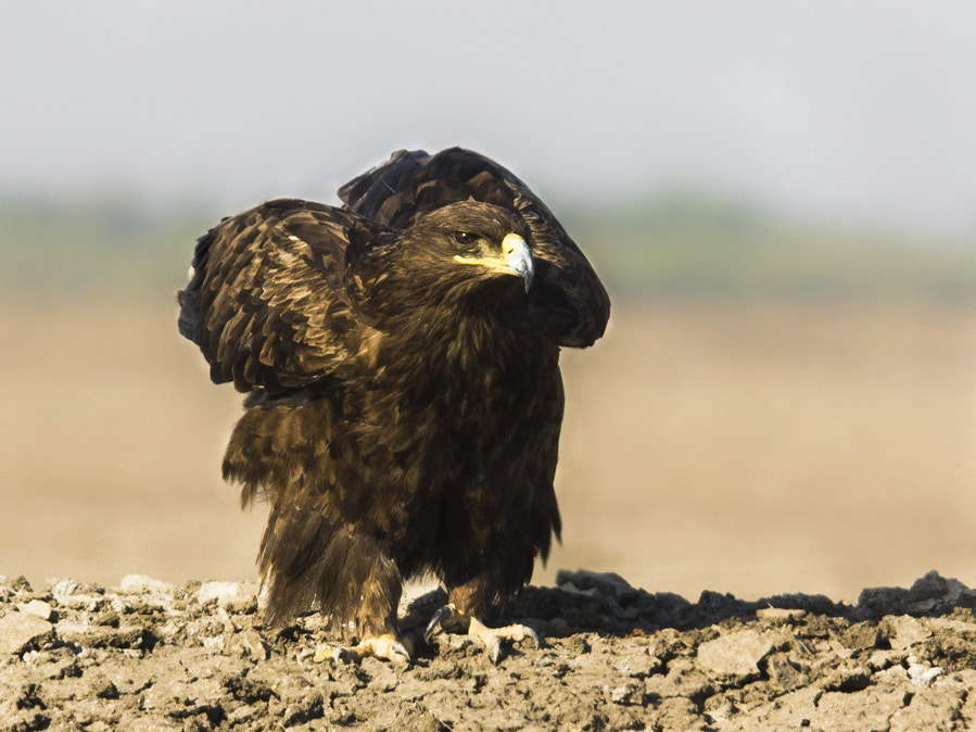 Photograph Steppe Eagle by Abhishek Chatterjee on 500px