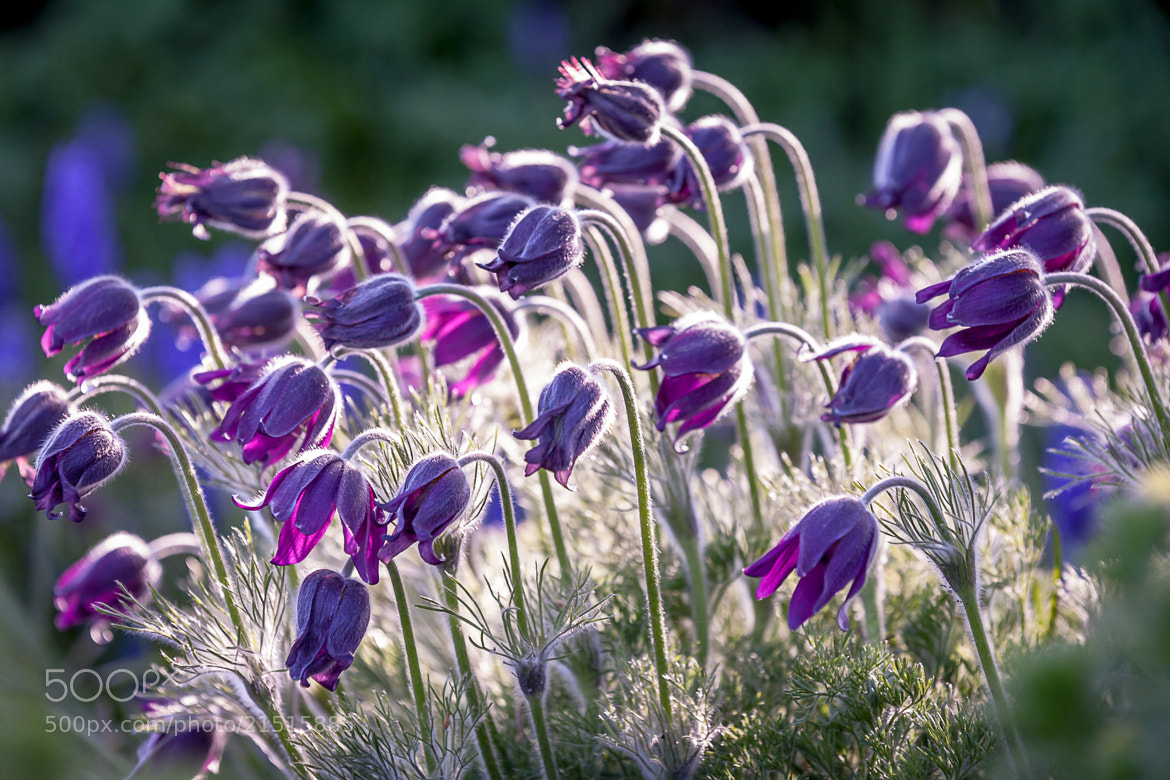 Photograph Bellflowers by Jurijs Buts on 500px