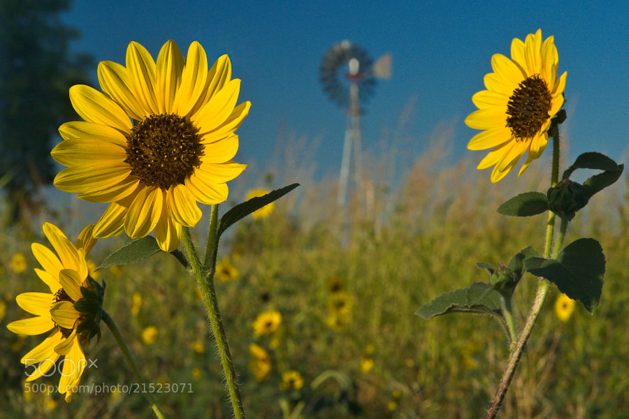 Sunflowers & Windmill