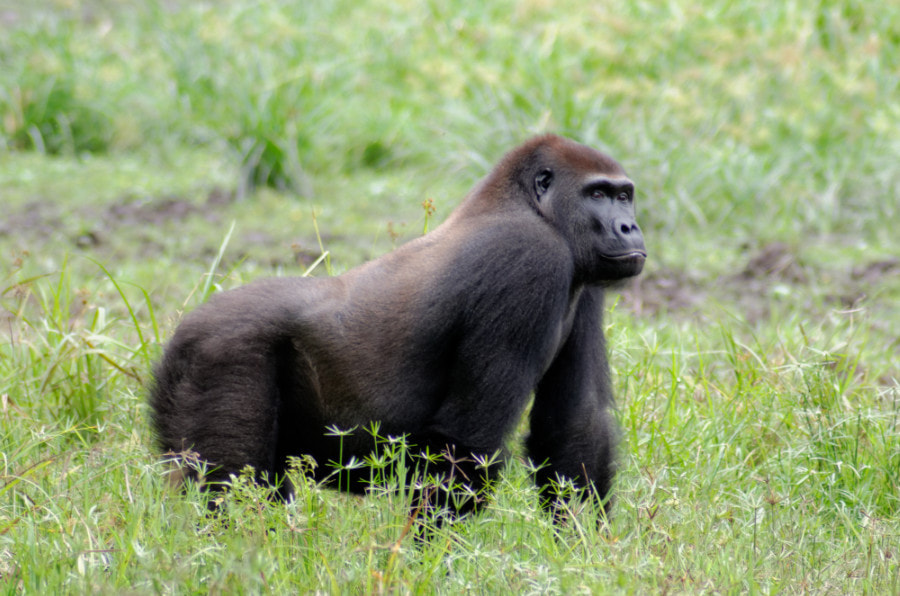 Western Lowland Gorilla by David Schenfeld on 500px.com