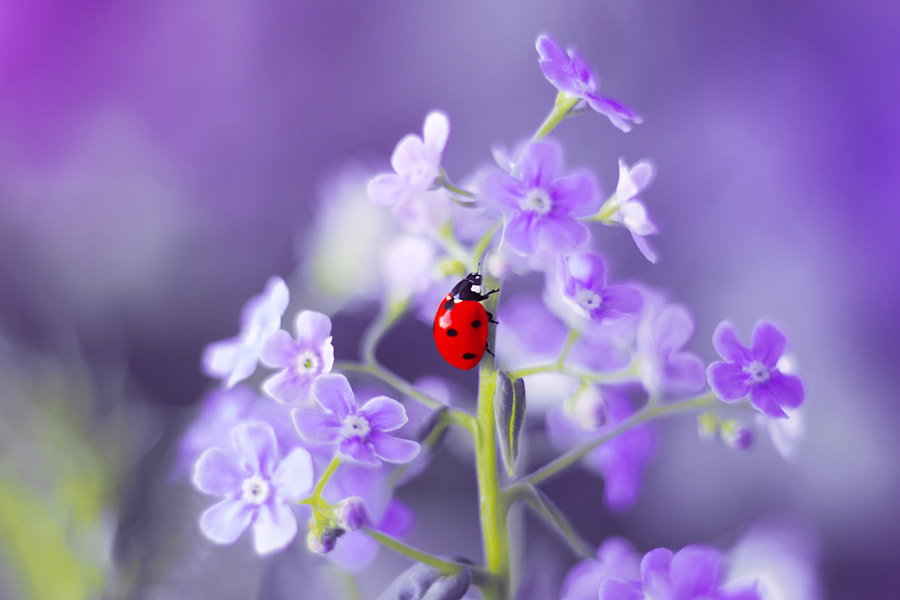 Nature Photo Forget-me-not by nature photographer Elena Andreeva on 500px.com