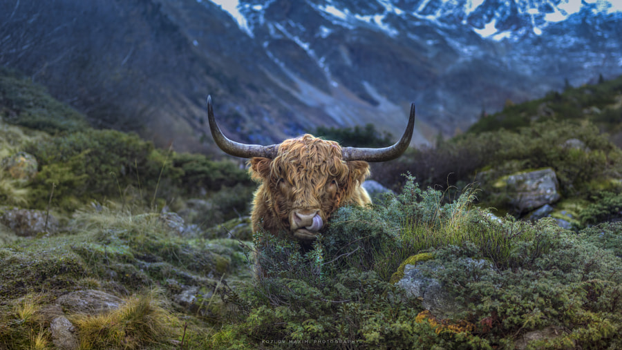 Wildlife Nature photo Scottish Highland Cow. by nature and landscape photographer Maxim K. on 500px.com